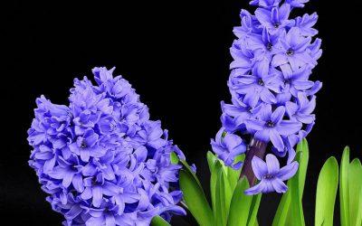 Ibolya virág felhasználása, gyógyhatása, mire jó?