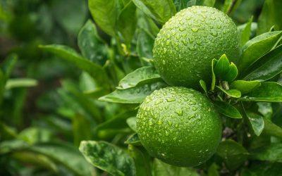 Lime felhasználása, gyógyhatása, mire jó?